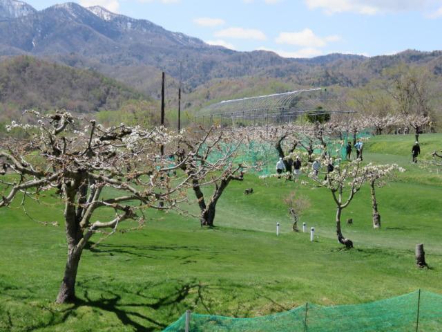 八剣山 今年もコース内のサクランボの花が咲きました。